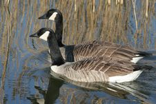 Free Canada Goose Stock Photography - 5109972