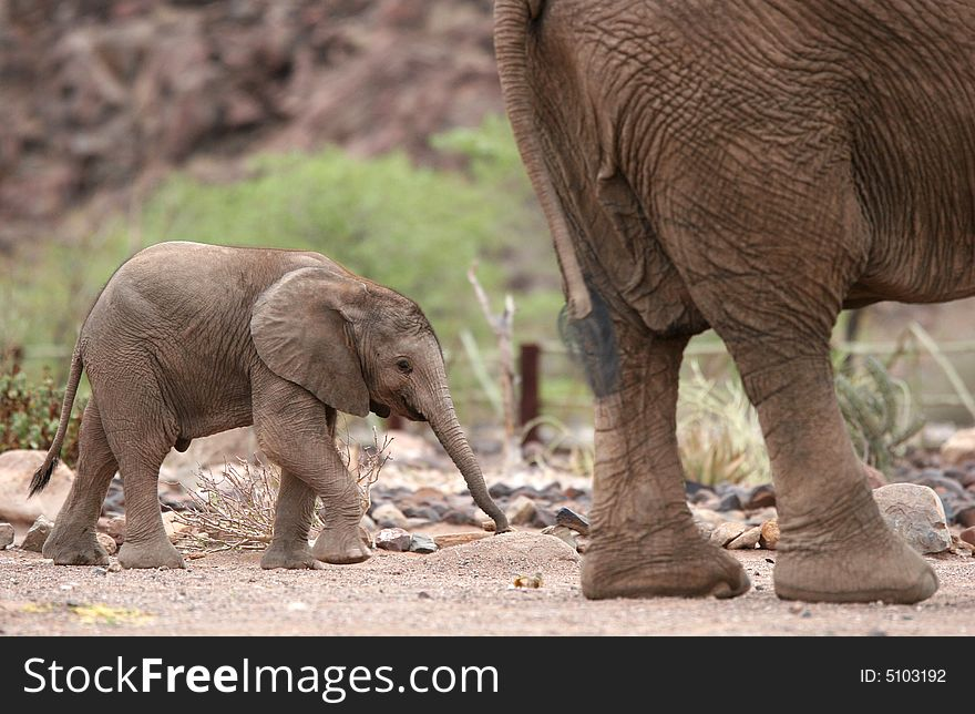 cute elephant calf behind elephant cow free stock images photos