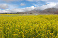 Free The Rape Flowers And Snow Moutain Stock Photography - 5111902