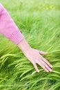 Free Touching Growing Corn Royalty Free Stock Image - 5117536