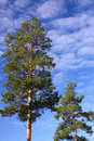 Free Pines Royalty Free Stock Photos - 5118078