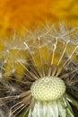 Free Half Blown Seeds On Dandelion Stock Image - 5118111