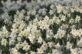 Free White Daffodils Stock Image - 5118141