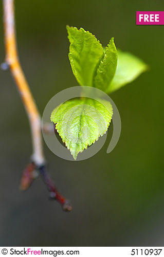 Free Spring Leaf Royalty Free Stock Photography - 5110937