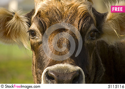 Free Cow Head Cropped Royalty Free Stock Image - 5115116