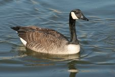 Free Canada Goose Stock Photography - 5110052