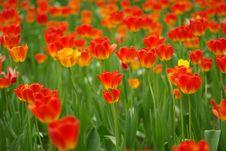 Free Tulip Like Flame Stock Photo - 5111170