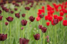 Dark Tulip Stock Photography