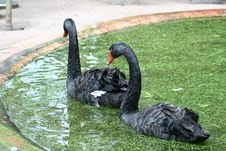 Free Swans In A Pond Royalty Free Stock Photography - 5111297
