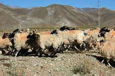 Free The Tibetan Sheep Herd Stock Images - 5111374