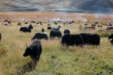 Free The Tibetan Yaks Stock Photography - 5111412