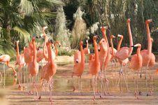 Free Caribbean Flamingos Stock Image - 5111421