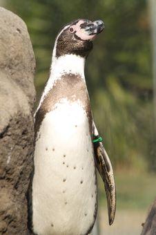 Free Penguin Royalty Free Stock Photography - 5111427