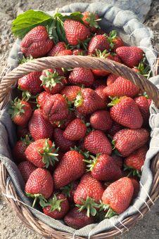 Free Strewberry Royalty Free Stock Photo - 5111435