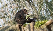 Chimpanzees Stock Photos