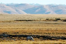 The Horse And Tibetan Wilderness Stock Images