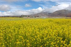 The Rape Flowers And Snow Moutain Stock Photography
