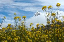 The Yellow Flowers And Snow Mountain Royalty Free Stock Images