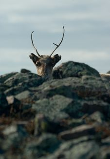 Free Hiding Reindeer Royalty Free Stock Photo - 5112095