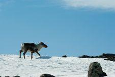Free Hornless Reindeer Stock Photo - 5112110