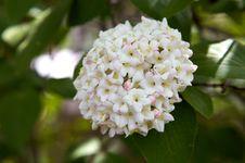 Free Snowball Bush Flowering Stock Images - 5112774