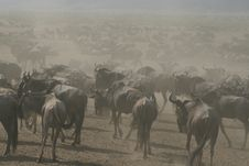 Free Wildebeests, Stock Images - 5113104