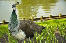 Free Peacock Stock Photos - 5113483