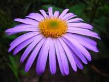 Free Lilaceous Daisy Stock Image - 5113801