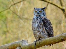 Free Great Horhed Owl Royalty Free Stock Photo - 5113945