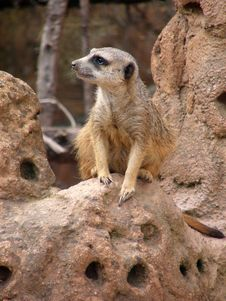 Free A Cute Meerkat (Suricata Suricatta) Stock Photos - 5113963