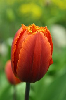 Free Tulip Royalty Free Stock Images - 5113999