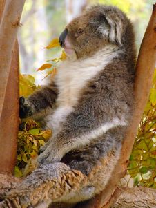Koala Bear Sitting On A Tree Royalty Free Stock Photos