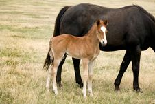 Free Quarter Horse Foal Royalty Free Stock Photography - 5114707