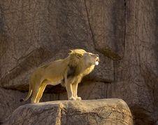 Growling Lion Stock Photos