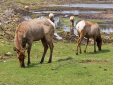 Free Grazing Elk Royalty Free Stock Photography - 5116037
