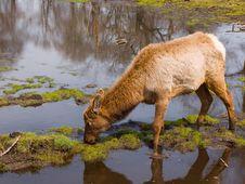 Free Grazing Elk Stock Photo - 5116040