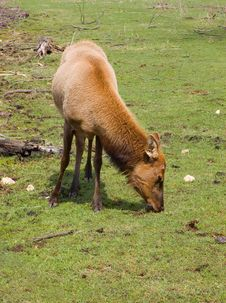 Free Grazing Elk Stock Photography - 5116042