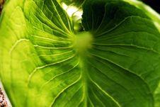 Free Large Leaf Royalty Free Stock Images - 5116299