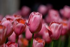 Free Tulips In Pink Stock Photo - 5116480
