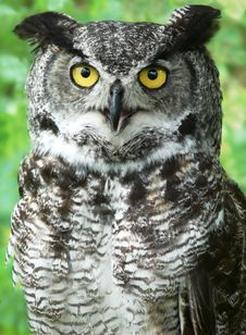 Free Close-up Of A Great Horned Owl Royalty Free Stock Image - 5116636