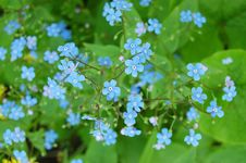 Free Forget-me-not Royalty Free Stock Photos - 5117358