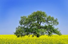 Free Canola Field Royalty Free Stock Photos - 5117488