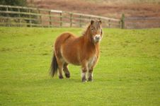 Free English Pony In A Field Royalty Free Stock Image - 5117846