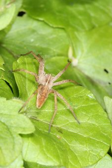 Free Spider On Leaf Royalty Free Stock Image - 5117966