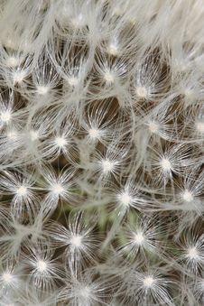 Free Dandelion Seed Royalty Free Stock Images - 5117979
