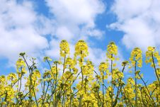 Free Rape Field Royalty Free Stock Photography - 5118177
