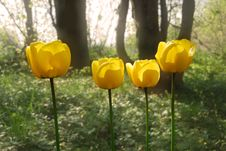 Free Yellow Tulips Royalty Free Stock Image - 5118246