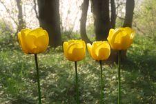 Free Yellow Tulips Royalty Free Stock Image - 5118246
