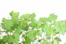 Free Green Parsley Stock Photography - 5118412