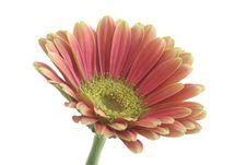 Free Gerber Flower Stock Photography - 5118422